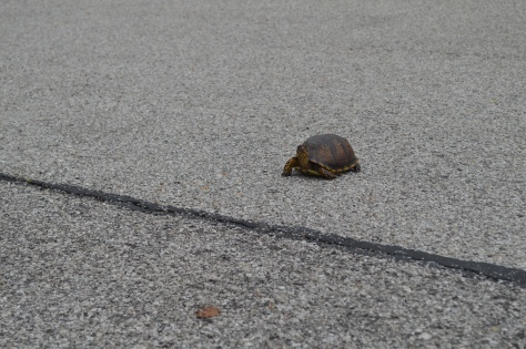 When a Tortoise decides to Cross the Road