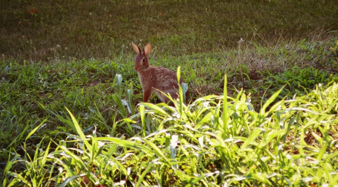Silent Sunday – A Rabbit Under My Deck