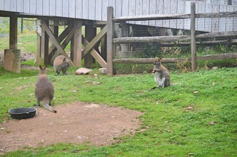 Kangaroo Babies by Jyoti Singh